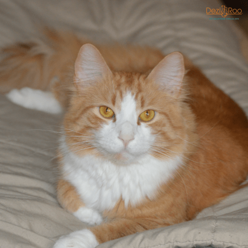 orange-and-white-cat