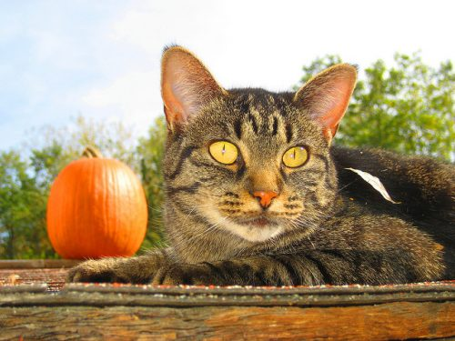 cat-with-pumpkin
