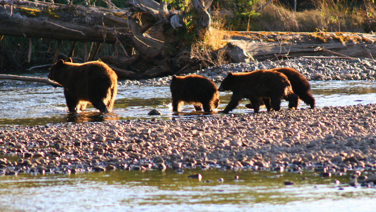 Cornelius-Iwan-black-bear-family-river-sun-1240x700.jpg