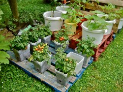 Magnificent Buckets On Pallets To Avoid Contact Pots Soil Container Gardening On Pallets A Success Van Cotm Pallet Container Garden Pallet Container Gardening