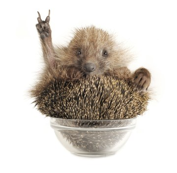 content-marketing-hedgehog9-600x588