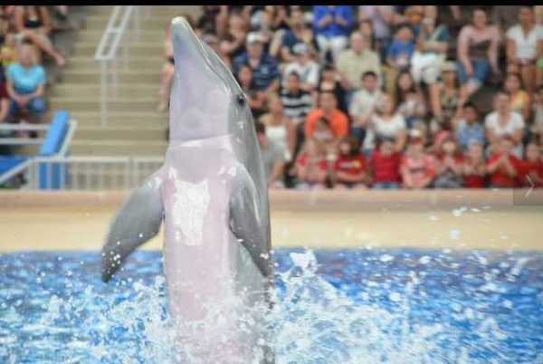 Brookfield Zoo Dolphin Show 091