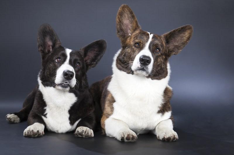 Large Of Corgi Terrier Mix
