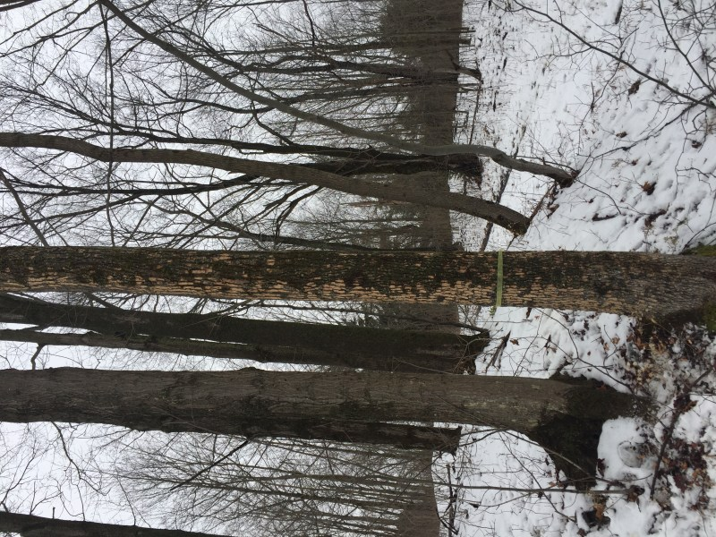 This is the original tree found in Arnot forest with woodpecker scaling, which is a primary signal for Emerald Ash Borer beetle invasion.