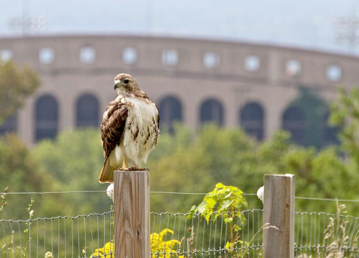 Red-tailed hawks are one of the many birds that can be observed 24/7 on the bird cam website.
