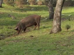 Ciclo productivo del cerdo ibérico