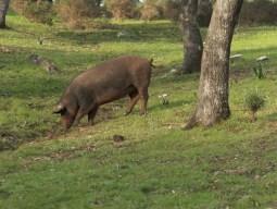 Efecto de la ingestión de hierba sobre la digestibilidad ileal de aminoácidos en el cerdo ibérico en montanera