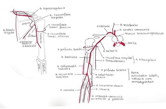 Gjorde en för någon vecka sedan för axel/arm-artärer också, efter en rörig men betydligt bättre föreläsning om dessa.