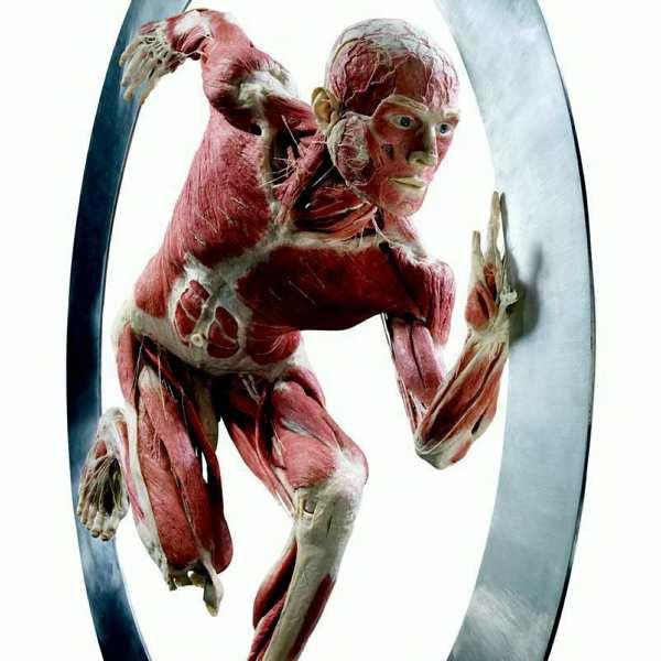 """Exempelbild från Body Worlds. Denna (""""Surfaren"""") finns med vid den svenska utställningen i Södertälje."""