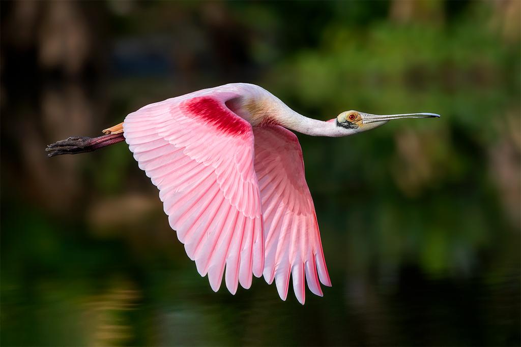 sponbill bird, palo verde boat tour, sponbill roseata