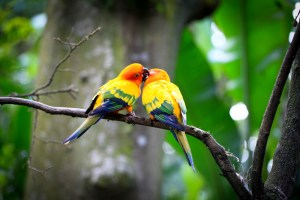 love-birds-images-20