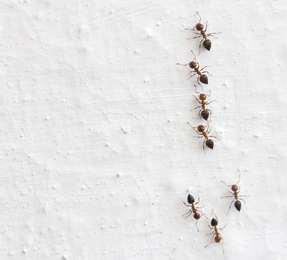 Piquant Y May Be Teeny But Ants Are A Huge Bummer At Ycrawl All Over Your Contaminate Your Give You How To Battle An Ant Infestation Cottage Life houzz-02 Tiny Red Ants