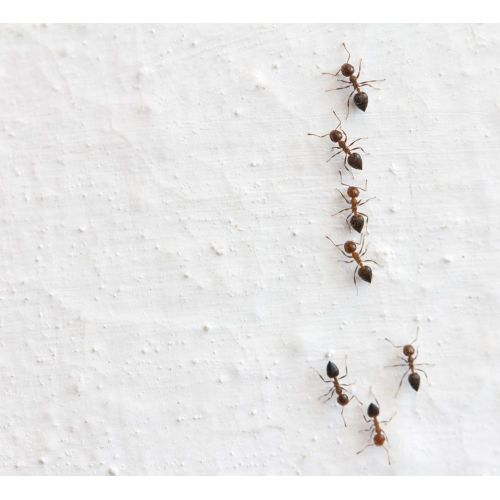 Medium Crop Of Tiny Red Ants