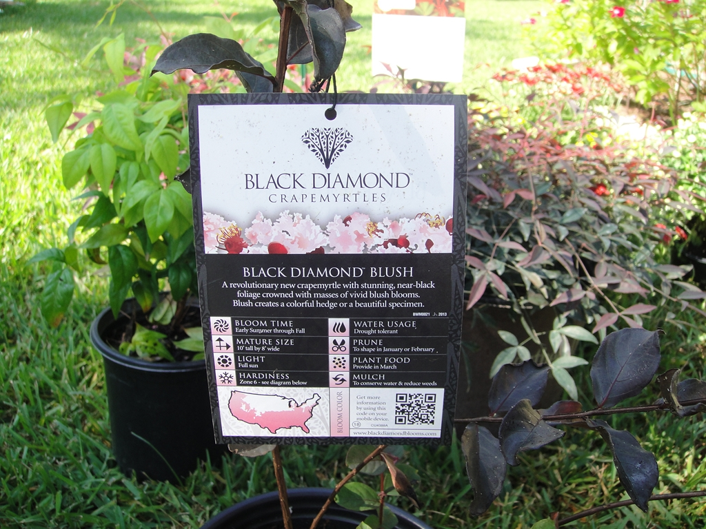 Special Crepe Myrtle Country City Bling Black Diamond Crape Myrtle Shell Pink Black Diamond Crape Myrtle Blush houzz-02 Black Diamond Crape Myrtle
