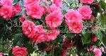 Камелия японская в моем саду. Цветы, апрель