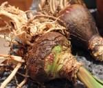 Гиппеаструм. Луковица окрепла за лето (сентябрь)