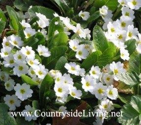 Первые весенние цветы - первоцветы. Примула акаулис (обыкновенная) 'Гигха' (Primula vulgaris 'Gigha')