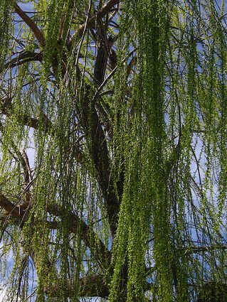 Willow Christmas Tree