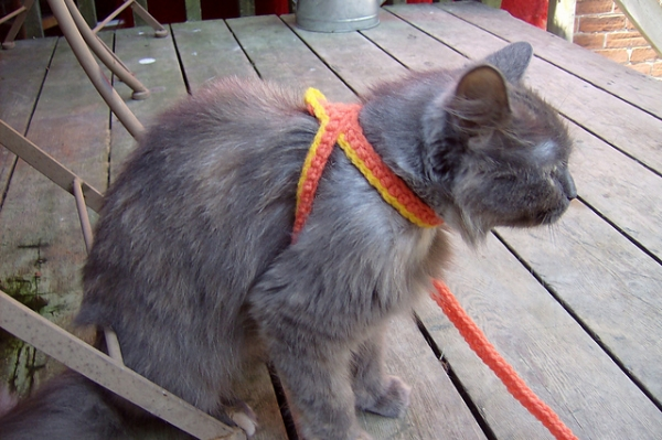 cat-harness