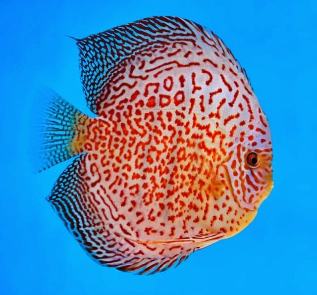 Discus fish for sale online uk discus fish for sale for Fish for sale online