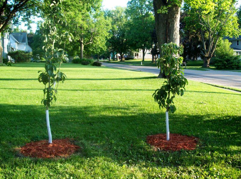 Large Of Columnar Apple Trees