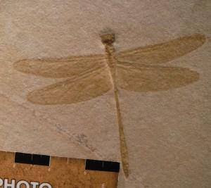 Dragonfly Fossil.  Photo Copyright Sara J. Bruegel, February 2016