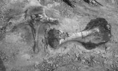 Dinosaur-Bone-Wikimedia-Commons