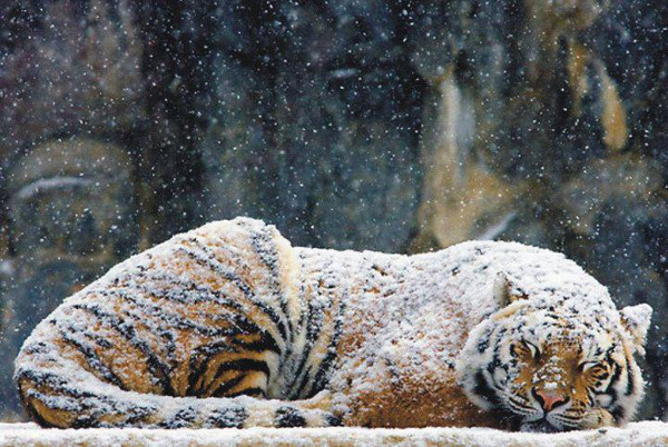 sleeping tiger