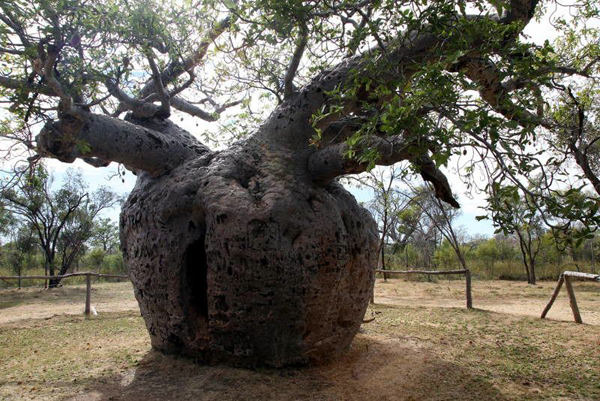 The Boab Prisoner Tree