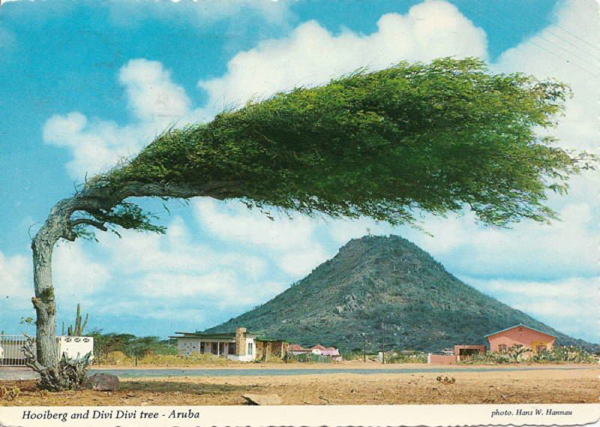The Divi Divi Tree