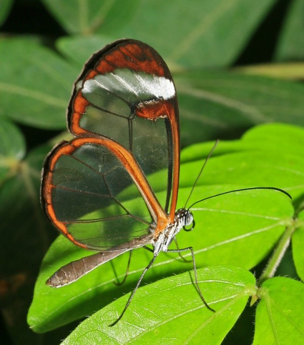 Glasswing (Greta oto)