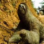Costa Rica - Sloth  slowly climbs the roadside embankment to esc