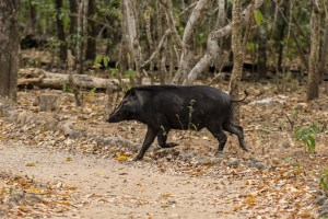 WIld pigs, sometimes eaten by Komodo.