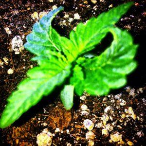 Wietplant © crime nieuws