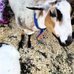 goat pet farm animals