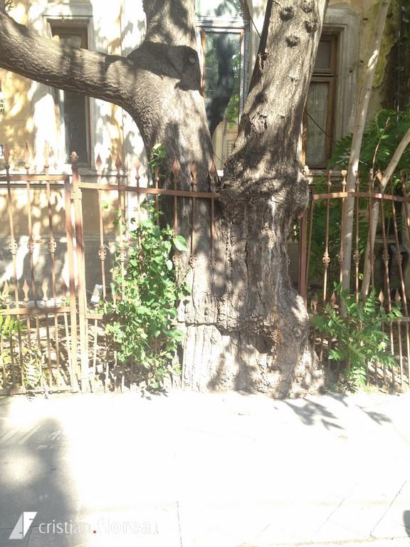 copacul care a inghitit un gard - bucuresti (2)