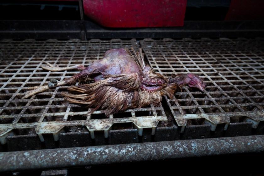 Diese tote Henne hatte Christian bei einem vorherigen Besuch in dem Stall fotografiert.
