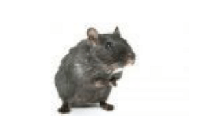 Croydon Pest Control Rats