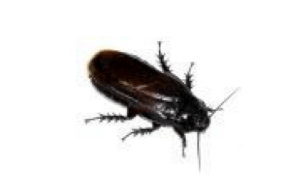 Croydon Pest Control Cockroaches