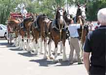 A horse handler hitches the last Clydesdale to the Budweiser beer wagon July 15.