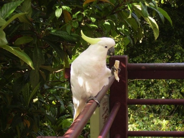 Cockatoo eating a piece of bread, Great Ocean Road, Australia