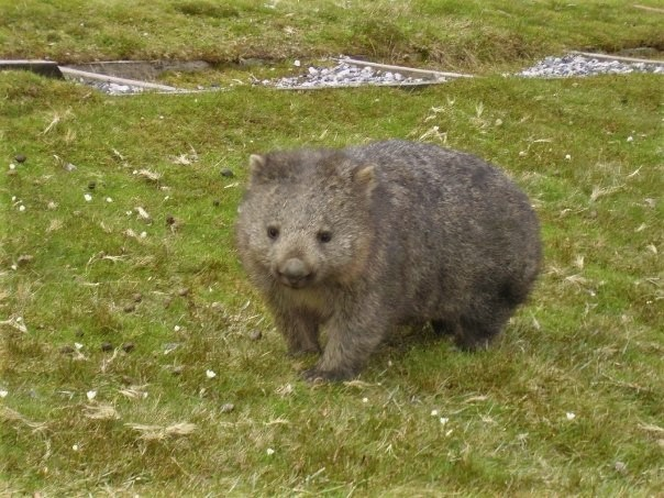 Wombat in Cradle Mountain - Lake St Clair National Park, Tasmania