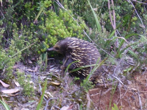 Echidna sitting in the bushes