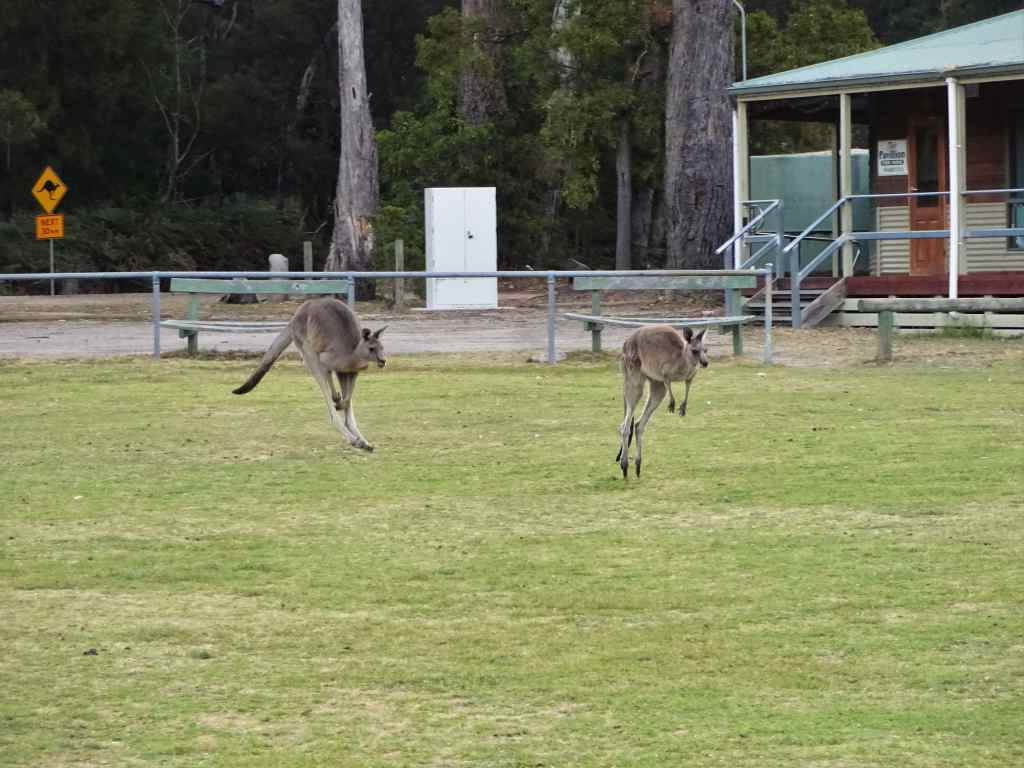 Hopping kangaroos in Grampians National Park, Australia