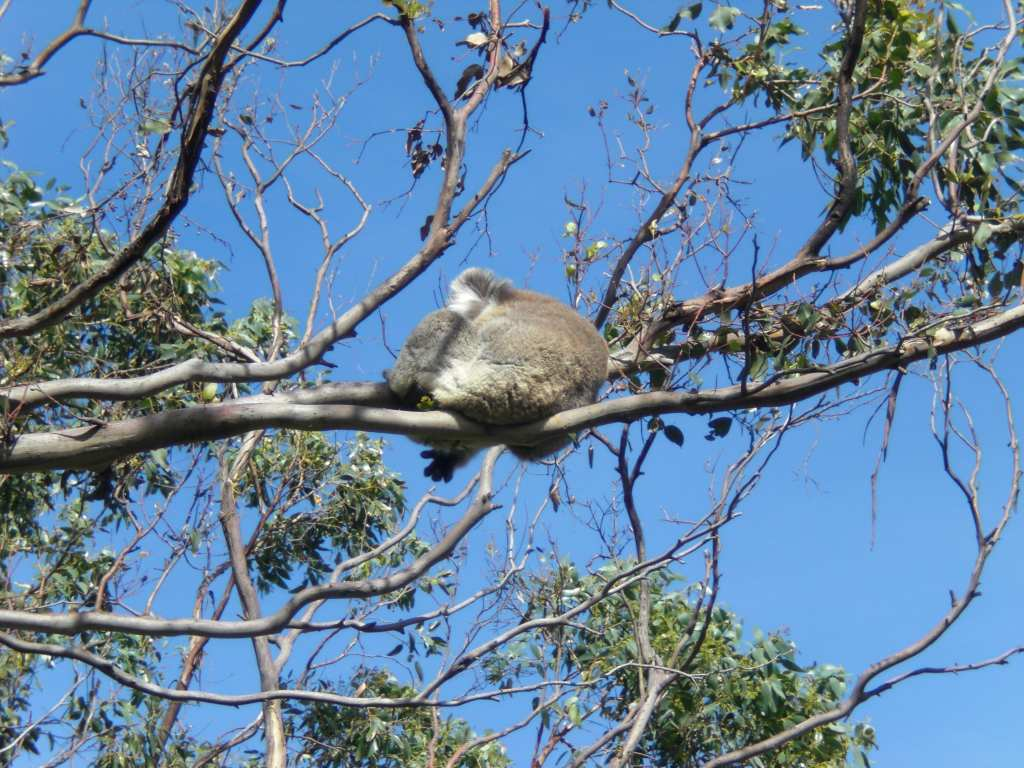 Koalas in the wild on the Great Ocean Road, Australia