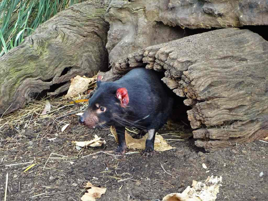 Tasmanian Devil crawling out of a hollow trunk