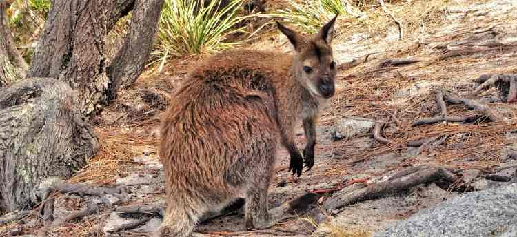 Wallaby in Tasmania, Australia