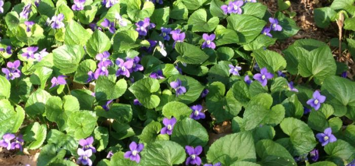 carpet of violets
