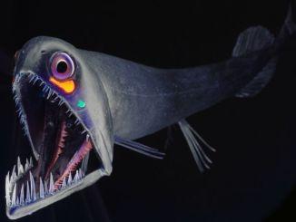 Dragon pez