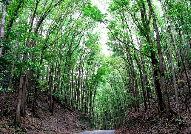 Mahogany Man Made Forest in Bohol